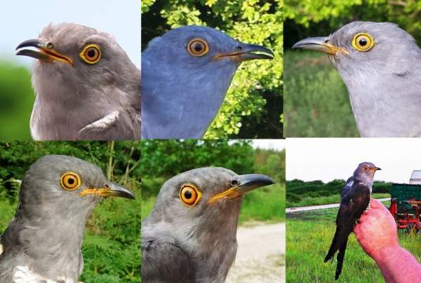 Cuckoo montage 2017