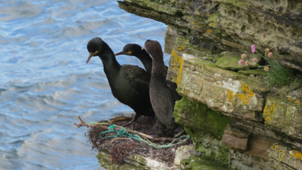 European Shags with plastic pollution. Nina O'Hanlon
