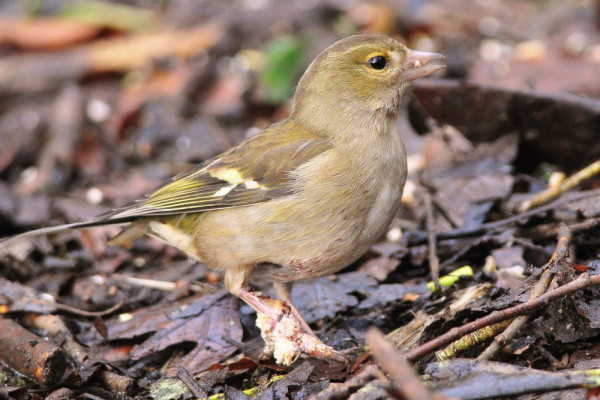 Chaffinch with scaly foot. Tommy Holden