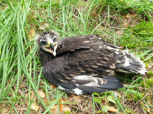 Greater Spotted Eagle Chick. Adham Ashton-Butt