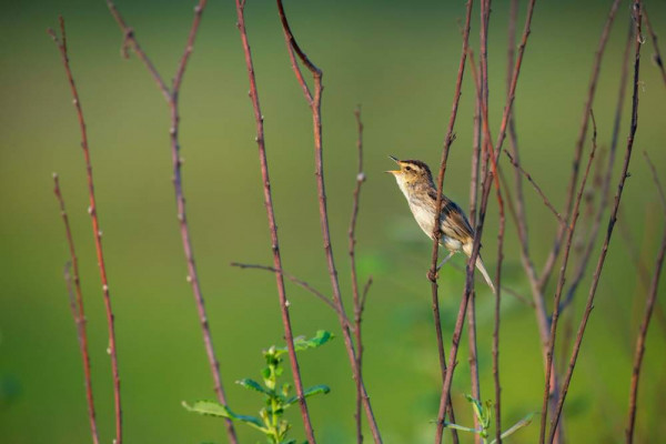 Aquatic Warbler. © Daniel Rosengren / Frankfurt Zoological Society