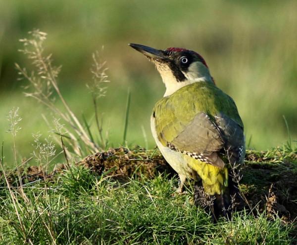 Green Woodpecker. Frank Gardner