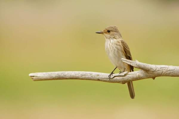 Spotted Flycatcher (by Szymon Bartosz / Adobe Stock)