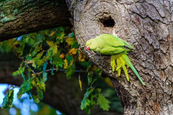 Ring-necked Parakeet. Chris / stock.adobe.com