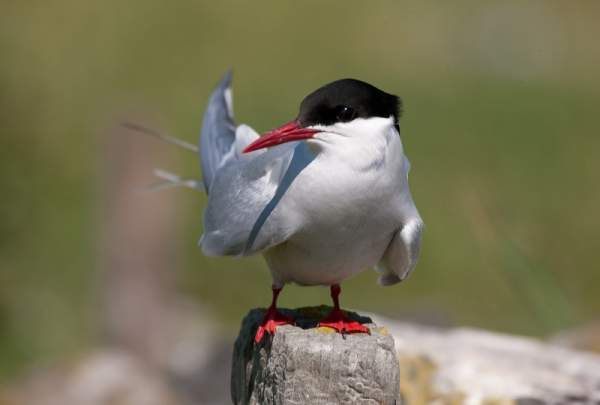 Arctic Tern by Andy Mason