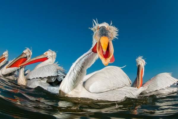 Dalmatian Pelican - Best Portrait by Bence Mate