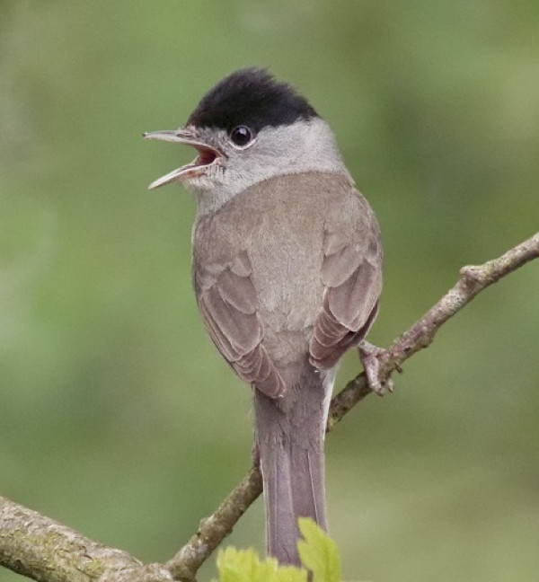 Blackcap by Gary Loader
