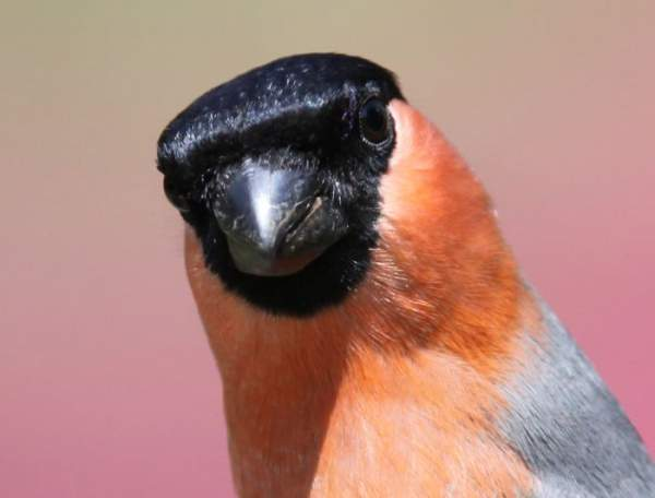 Bullfinch by Edwyn Anderton