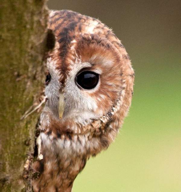 Tawny Owl by Howard Stockdale/BTO