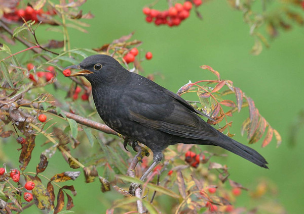Blackbird. John Harding