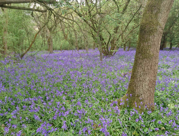 Bluebell woodland in Cambridgeshire. Ailidh Barnes