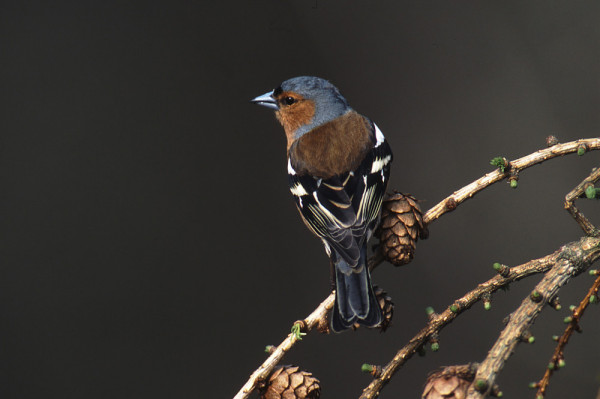 Chaffinch by Tommy Holden