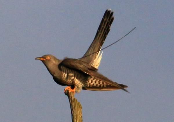 Cuckoo 161322. Photograph by Norman Wyatt