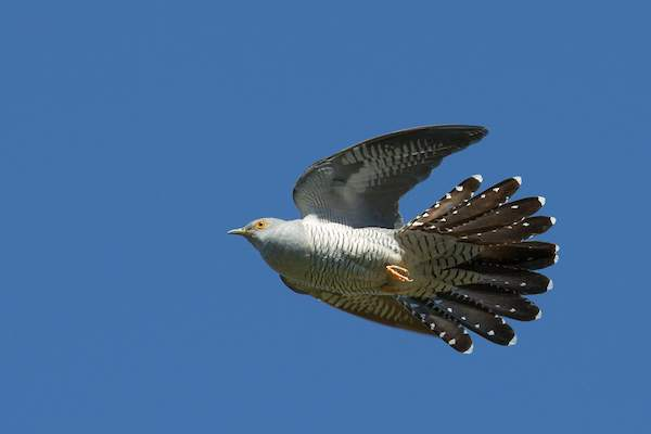 Cuckoo by David Jefferson/BTO