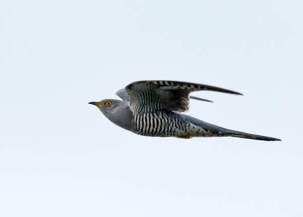 Cuckoo by Colin Brown/BTO