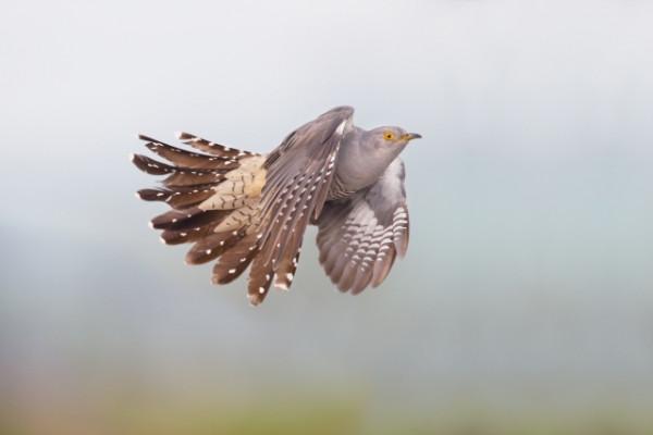 Cuckoo in flight by Edmund Fellowes