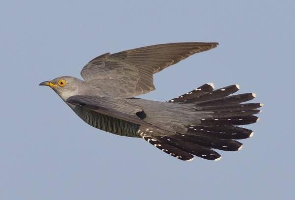 Cuckoo by Steve Ashton