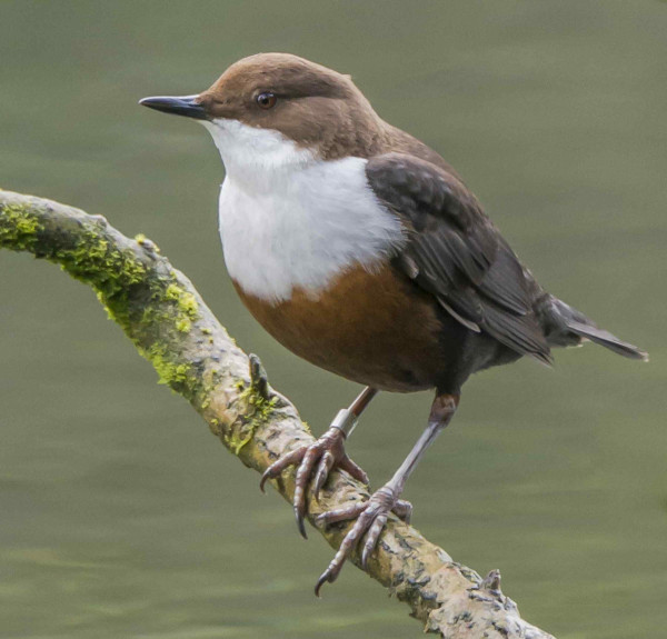 Ringed Dipper sitting on a branch. Photograph by Ruth Walker.