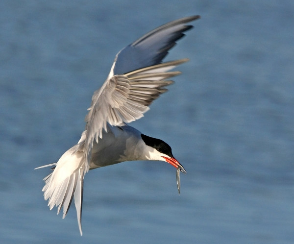Common Tern by Jill Pakenham
