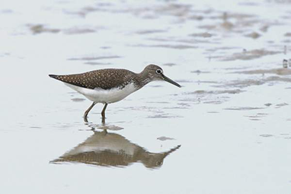 Green Sandpiper - image by Dave King