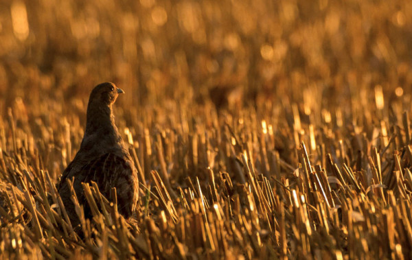 Grey Partridge. Tom Streeter