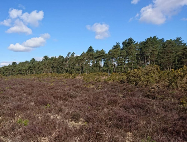 Heathland and conifer plantation in the New Forest. Ailidh Barnes