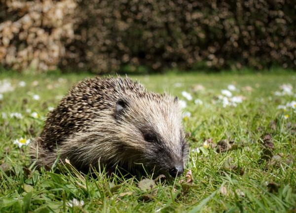 Hedgehog by Sarah Kelman