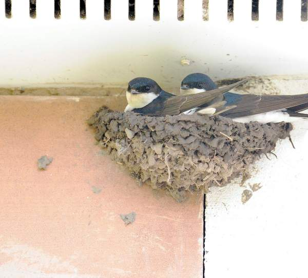 House Martins by Doug Welch