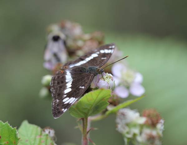 White Admiral by Mike Toms / BTO