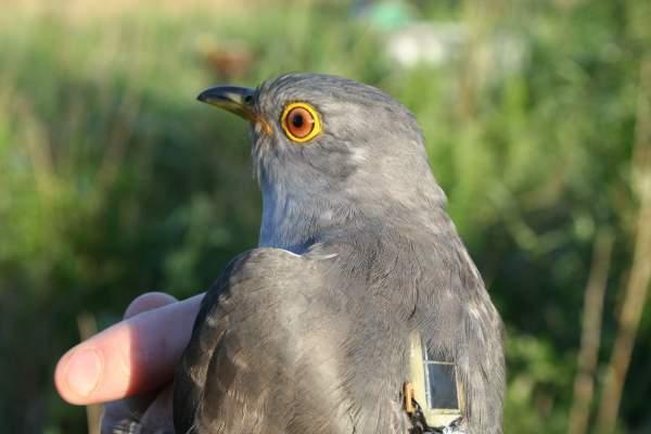 Satellite Tracking Cuckoos