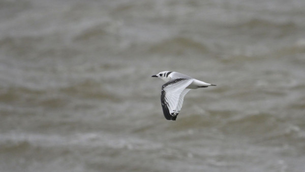 kittiwake_ness_point_02-08-2017.jpg