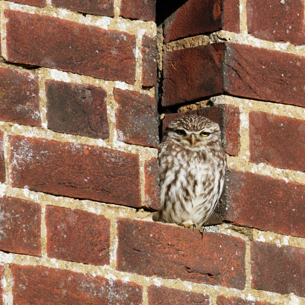 Little Owl. Liz Cutting