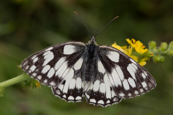 Marbled White. Liz Cutting