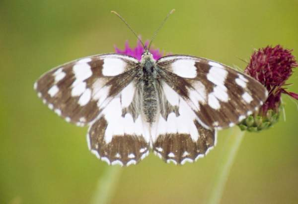 Marbled White by Neil Calbrade