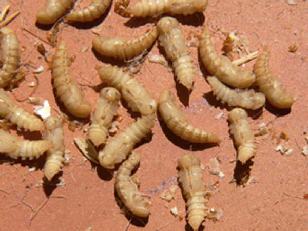 Mealworm pupae. Colin Ryall