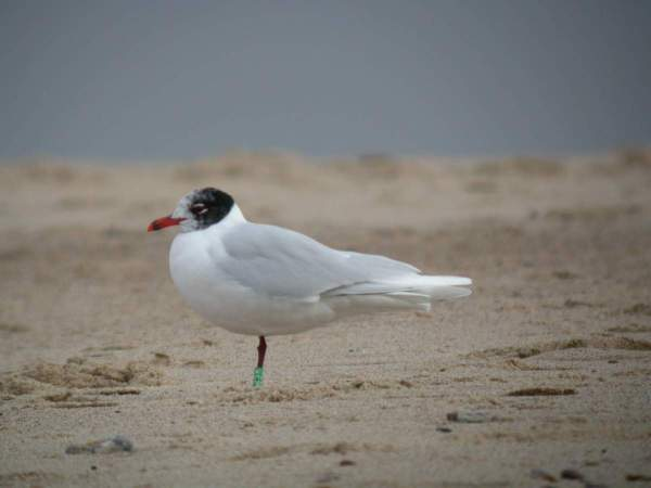 Mediterranean Gull by Dawn Balmer