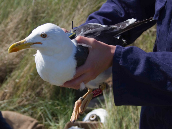 GPS-tagged Lesser Black-backed Gull