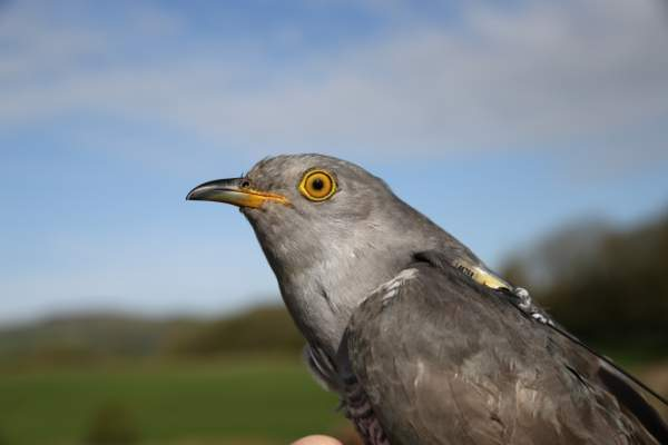 Peckham the Cuckoo by BTO
