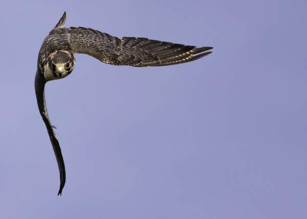 Peregrine by Andy Mason