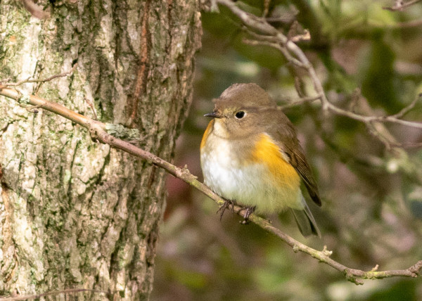 red-flanked_bluetail-2.jpg