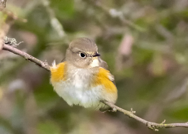 Red-flanked Bluetail. Andy Mason