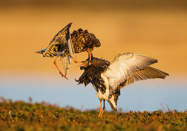 Ruff. Photograph by Espen Lie Dahl