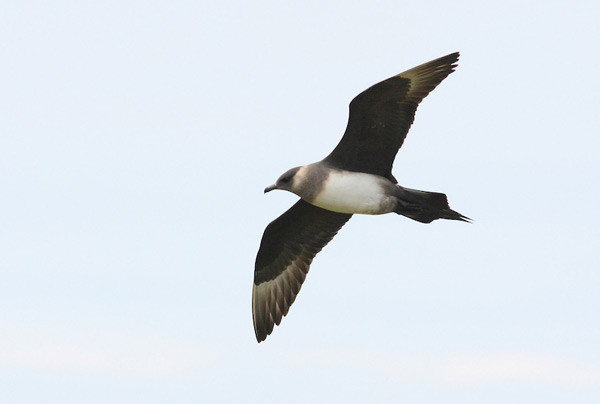 Arctic Skua. Photograph by Moss Taylor