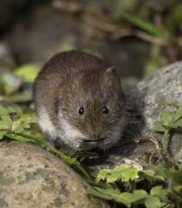Bank Vole. Photograph by John Harding