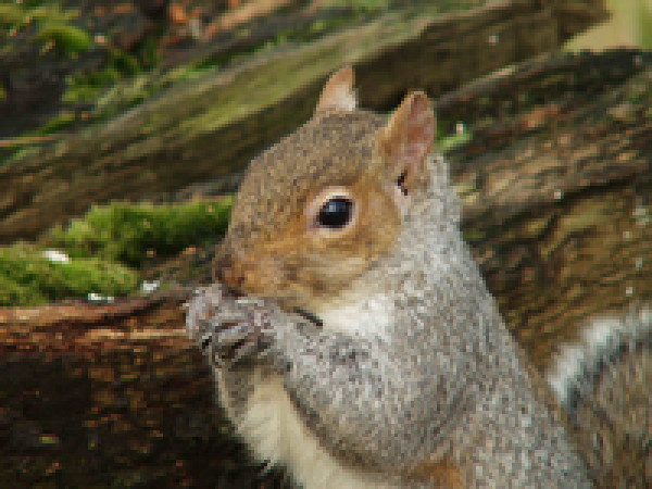 Grey Squirrel. Photograph by John Harding