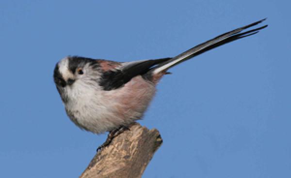 Long-tailed Tit. Photograph by Jill Pakenham