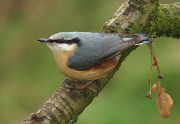 Nuthatch. Photograph by John Harding