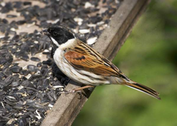Reed Bunting. Photograph by John Harding