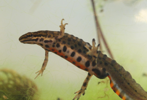 Attractive Smooth Newt. Photograph By Mike Toms