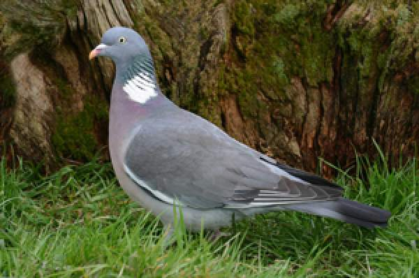 Woodpigeon Bto British Trust For Ornithology